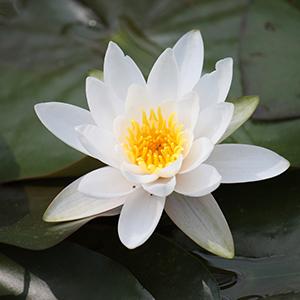 Fehér lótuszvirág